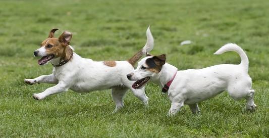 Dogs running on green grass