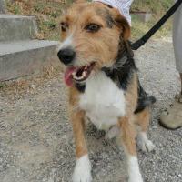 Biggles beagle cross