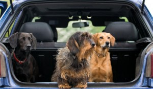 Dogs-in-cars