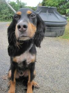 Young black and tan spaniel cross looking happy