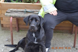 big black labrador cross sitting happily with his owner.