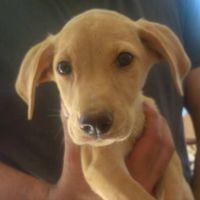 Centaurus yellow lab cross puppy