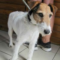 Fibi wire haired terrier female