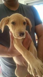 golden lab puppy looking sweet