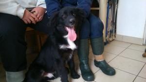 Beautiful black medium haired dog with white blaze