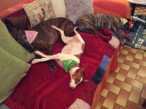 three legged dog lying on her back with a pal