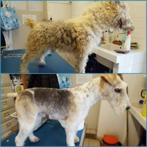 Before and after pictures of small curly haired dog