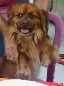 Brown fluffy dog