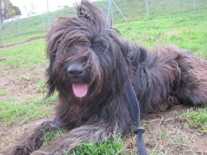 long haired black dog lying down