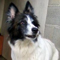 Cassi female border collie