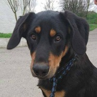 Crawford young male beauceron