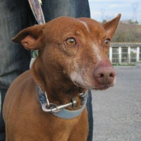 Ran Podenco cross