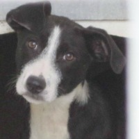 Poppy border collie cross