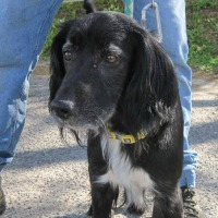 Bouriquet male cocker spaniel cross