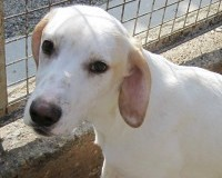 Robbie young male lab/dalmation cross