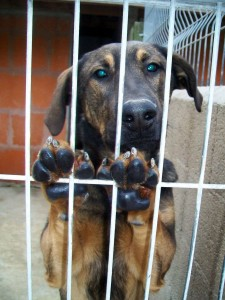 brown and black dog looking through bars of cage