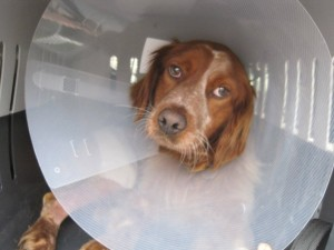 spaniel wearing plastic collar to stop him chewing