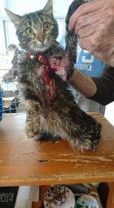 cat wearing collar covered in blood