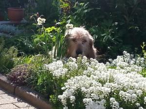 beige dog in flowerbed