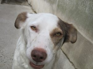 white dog with brown patch over one eye