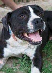 black and white short-haired dog