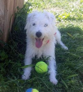 small fluffy white dog with tennis ball