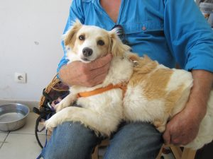 small white and beige dog on lap