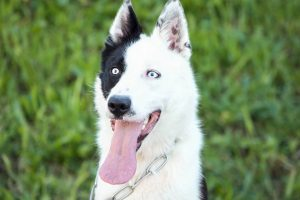 border collie with blue eyes.