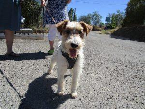 foz terrier wearing harness