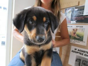 Male beauceron pup