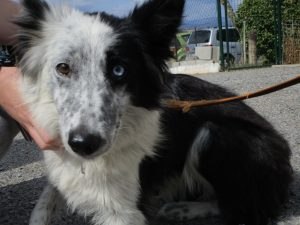 border collie with one blue and one brown eye