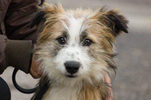 hairy tricoloured dog