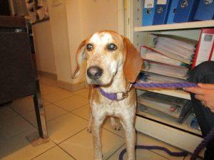 pal dog with brown ears