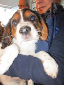 tricoloured spaniel puppy