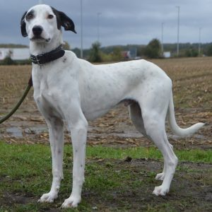 bif white specked dog