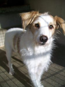 white dog with brown ears