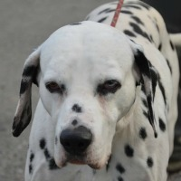 Dart - mature male Dalmation