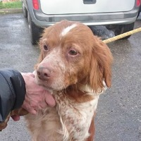 Engy female Brittany Spaniel