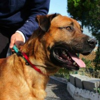 Fadista male large shepherd cross
