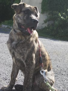 Brindle coloured pup