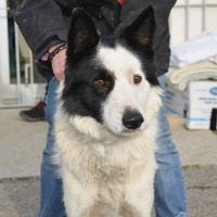 Billy male border collie