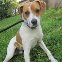 Lasko young male jack russell cross