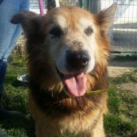 Oural mature male shepherd cross