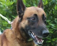 isidor male young Malinois