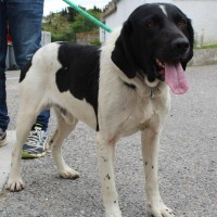 Jango male springer spaniel cross