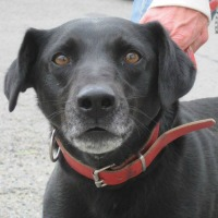 Whiskey male labrador cross