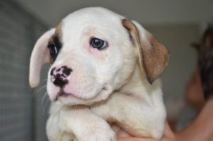 white pup with one brown ear