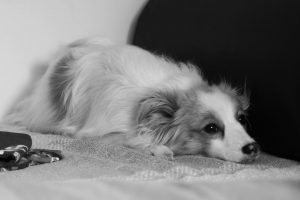 black and white photo of small fluffy dog