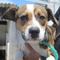 Mirabelle French bulldog beagle cross