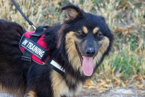 shaggy black and tan dog